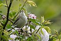 Ak mukallit - Iduna pallida - Eastern Olivaceous Warbler, Adana, Turkey 02.jpg