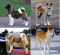 5 / Akita (dog)