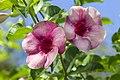 Alamanda in bloom-2 (33463539572).jpg