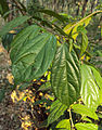 Alangium Salvifolium 21.JPG