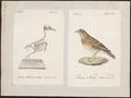 Alauda arvensis - 1700-1880 - Print - Iconographia Zoologica - Special Collections University of Amsterdam - UBA01 IZ16100317.tif