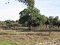 Alcornoques - Monfragüe - panoramio.jpg