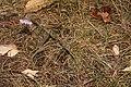 Allium cernuum 3161.JPG