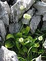 Allium victorialis, J. Garmendia.JPG