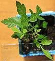 Allophylus decipiens seedling, by Omar Hoftun.jpg