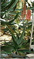 Aloe arborescens BotGardBln310505.jpg