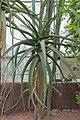 Aloe helenae (Aloès) - 85.jpg