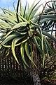 Aloe speciosa, Victoria Esplanade Park (7).jpg