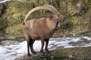 Alpensteinbock (Capra ibex) Zoo Salzburg 2014 g.jpg