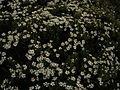 Alpine Heath-like Daisy - Flickr - pellaea.jpg