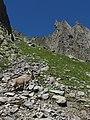 Alpine Ibex (Bouquetin) @ Path from L'Index to Col de la Gliere @ Hike to Lacs des Chéserys, Lac Blanc, Lac Cornu & Lacs Noirs @ Chamonix (15358336801).jpg