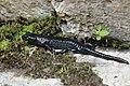 Alpine salamander - Salamandra atra (44566375762).jpg