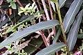 Alpinia nutans 6zz.jpg