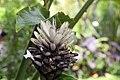 Alpinia purpurata 19zz.jpg