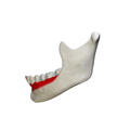 Alveolar part of mandible - close up- lateral view.png
