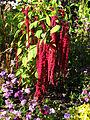 Amaranthus caudatus (in a flowerbed) 01.jpg