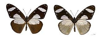 Wildlife of Guinea - Amauris niavius - museum specimen