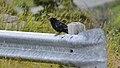 American Crow (Corvus brachyrhynchos) - Logy Bay-Middle Cove-Outer Cove, Newfoundland 2019-08-11 (02).jpg