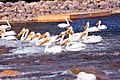 American white pelican - Chippewa National Forest 02.jpg
