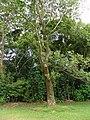 Anacardium excelsum - Hawaii.jpg