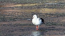 Andean Goose, Chile 1.jpg