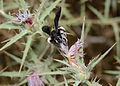 Andrena pyropygia female 1.jpg