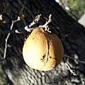 Andricus quercuscalifornicus-Female Gall on Quercus lobata-2.jpg