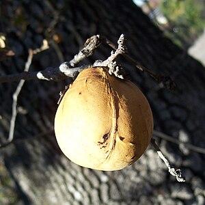 A very sweet gall on an oak-tree branch