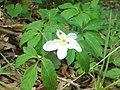 Anemone nemorosa.002 - Fragas do Eume.jpg