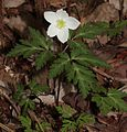 Anemone nikoensis (1 flower).JPG