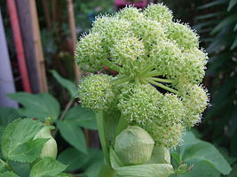 Angelica archangelica flower.JPG