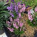 Angelonia-angustifolia-public-domain IMG 3426.jpg