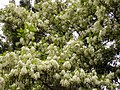 Angiosperms in iran گلها و گیاهان گلدار ایرانی 08.jpg