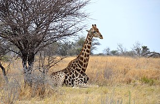 Giraffe - Angolan giraffe lying down at Etosha National Park, Namibia
