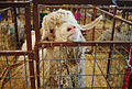 Angora goat, Gillespie County Fair.jpg