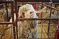 Angora goat, Gillespie County Fair.jpg