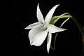 Angraecum leonis (Rchb.f.) André, Rev. Hort. (Paris) 57- 294 (1885) (37604185785).jpg