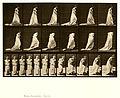 Animal locomotion. Plate 100 (Boston Public Library).jpg