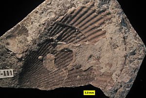 Ordovician - External mold of Ordovician bivalve showing that the original aragonite shell dissolved on the sea floor, leaving a cemented mold for biological encrustation (Waynesville Formation of Franklin County, Indiana).