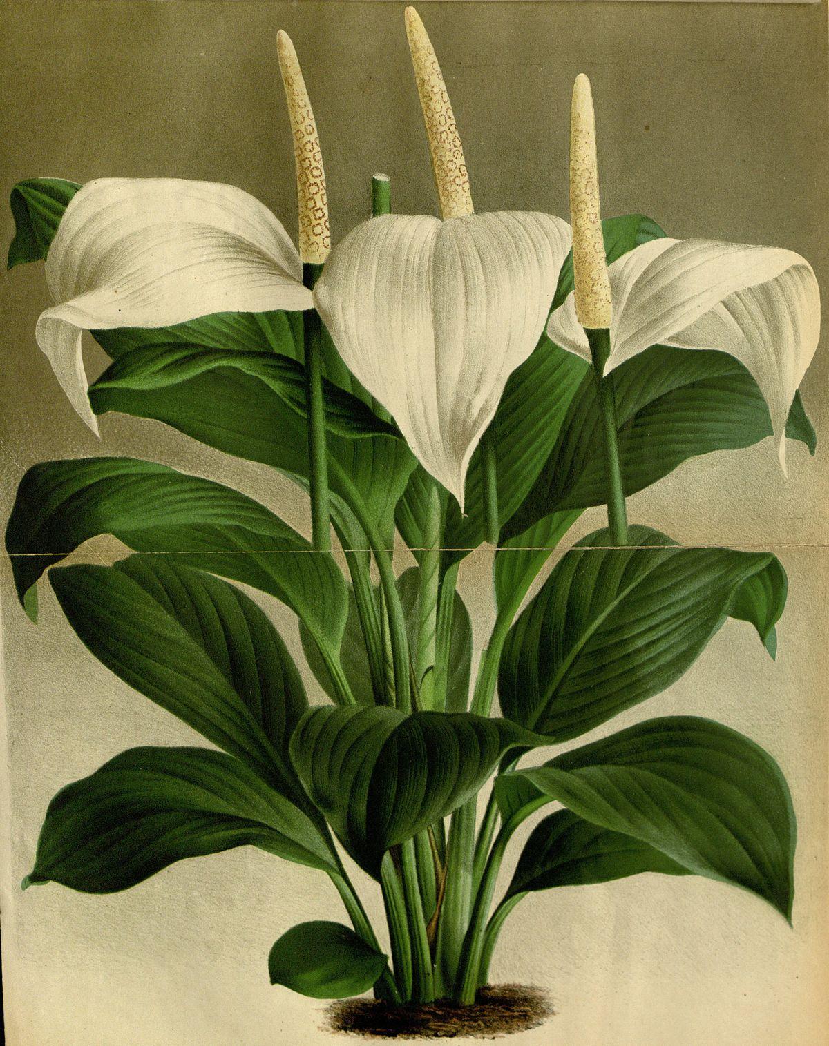 Spathiphyllum wikipedia - Katzen giftige zimmerpflanzen bilder ...