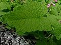 Antigonon leptopus leaf (5731633340).jpg