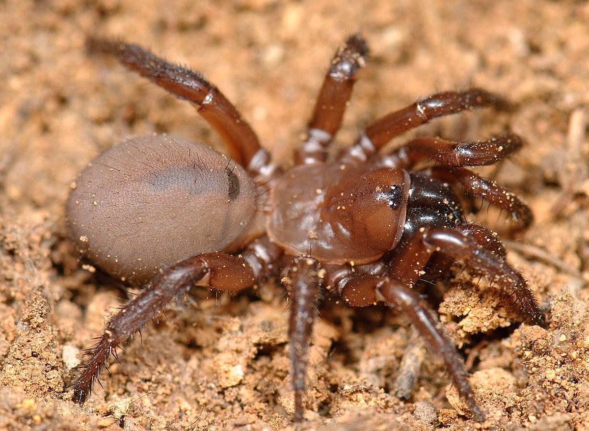 Antrodiaetidae Wikipedia