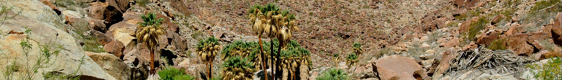 California fan palms at the park