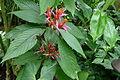 Aphelandra sinclairiana (Boltz Conservatory).JPG