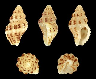 <i>Aplus scacchianus</i> Species of gastropod