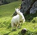 Appenzell Goat (552849728).jpg