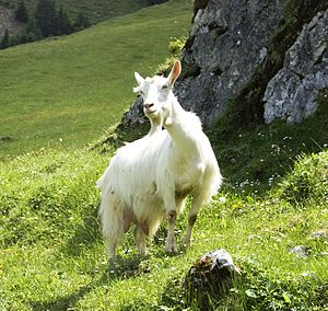 Danse de la chèvre - The topic is the dance of a goat on a grassy hill after the winter snows have melted away