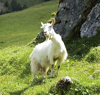 Appenzell goat - Image: Appenzell Goat (552849728)