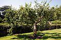 Apple tree in Walled Garden at Parham House, West Sussex, England.jpg