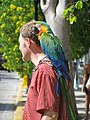 Ara hybrid perching on a man's shoulder-8a.jpg